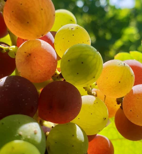 Avant tout, la nature et le raisin